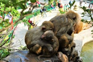 Things to do in Kathmandu monkeys