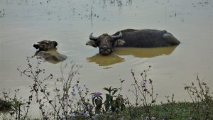 Bac Ha buffalo