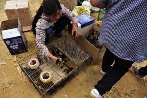 ha giang vietnam duckling sales