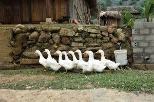 ha giang vietnam ducks